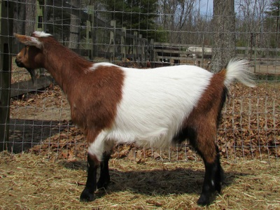Goat Breeds The Art Of Goat Care